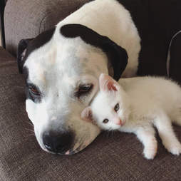 pit bull and kitty