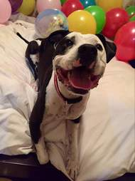 pit bull loves balloons