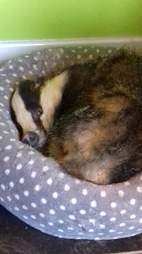 badger takes a nap in cat bed