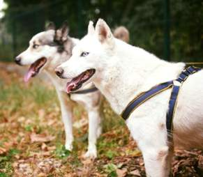 Huskies saved from war-torn Aleppo, Syria