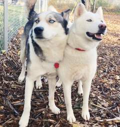 Huskies saved from Aleppo