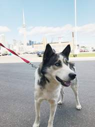 Husky saved from Aleppo war arriving in Toronto