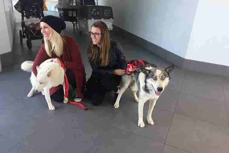 Huskies saved from Aleppo, Syria, arrive in Canada to look for homes