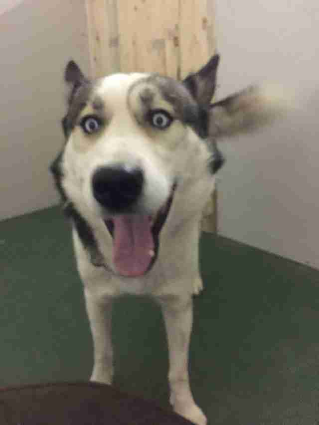 Husky saved from Syria
