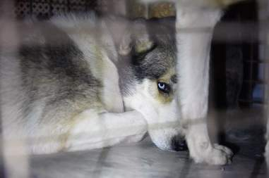 Husky getting saved from Aleppo zoo