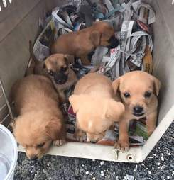 Puerto Rico puppies traveling to Georgia to find homes after Hurricane Maria