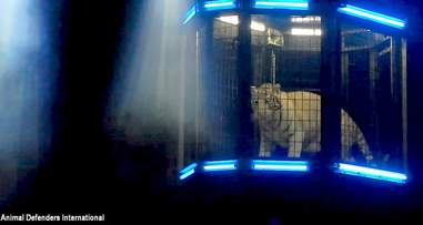 Tiger inside cage during performance