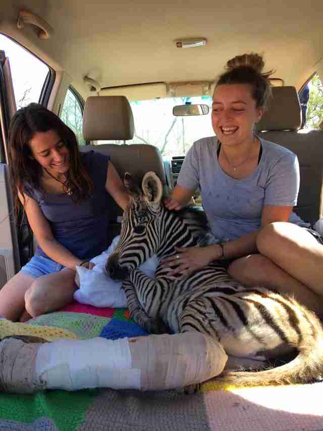 Baby zebra on the way to the vet