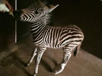 rescued baby zebra