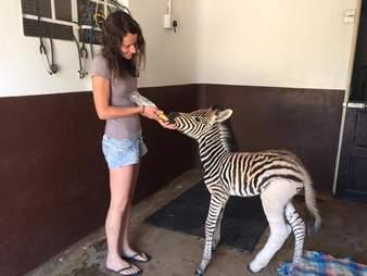 orphaned baby zebra