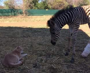 Rescued zebra with cat