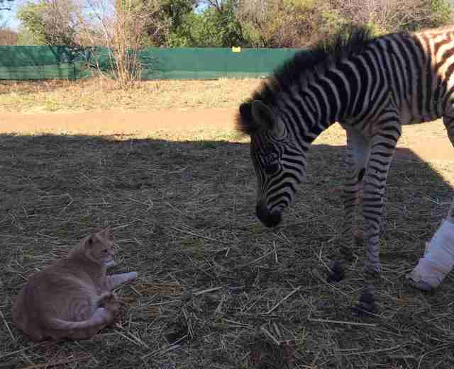 Rescued zebra with cat