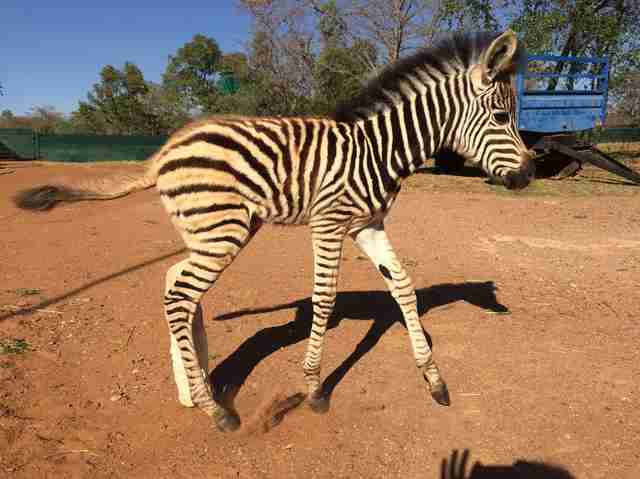 Rescued orphaned zebra