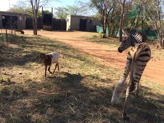 Rescued zebra with goat