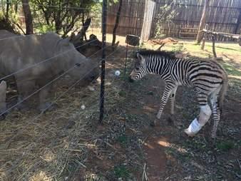 Rescued rhino and zebra
