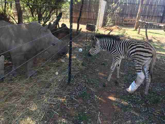 Rescued rhino and zebra