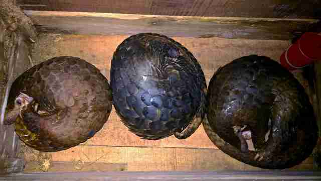 Pangolins saved from smugglers in Vietnam
