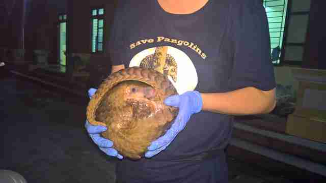 Pangolin getting saved from smugglers in Vietnam