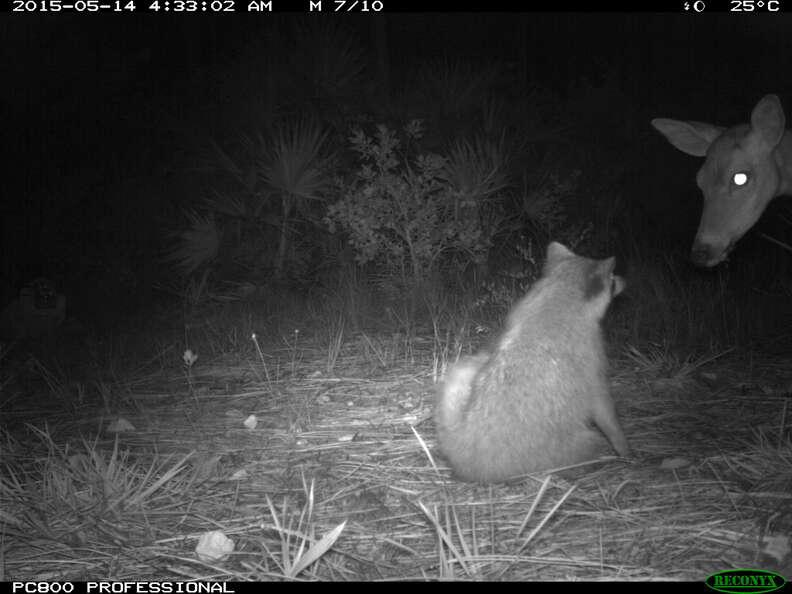 Raccoon and deer in camera trap