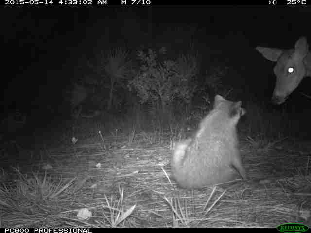 Raccoon and deer in camera trap