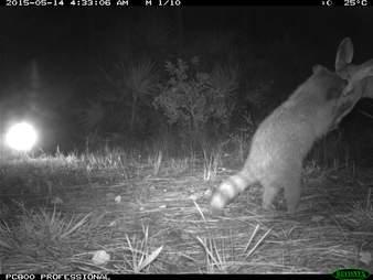 Deer and raccoon canoodling