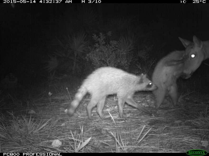 Deer and raccoons snuggling