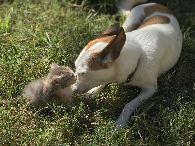 Dog and kitten outside in the grass