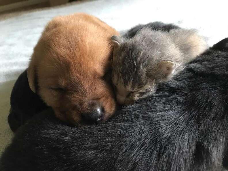 Kitten sleeping with puppies