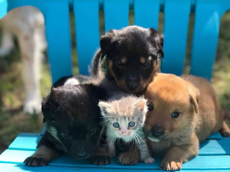 Puppies and kitten on chair together
