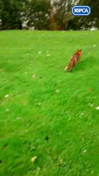 fox stuck in skatepark