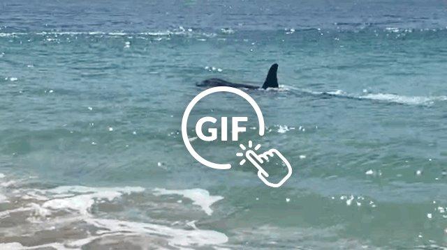 Orca surprises beachgoers
