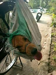 Dog tied up in bag with tongue sticking out