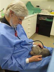 Rescued wombat at wildlife hospital in Australia
