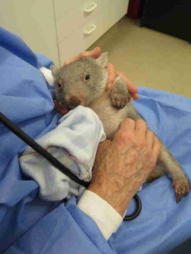 Rescued wombat at wildlife hospital in Australia