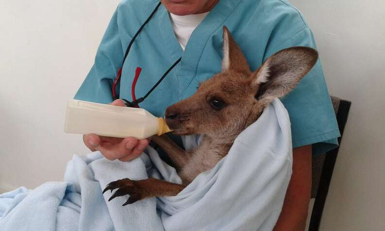 Veterinarian bottle feeding kangaroo