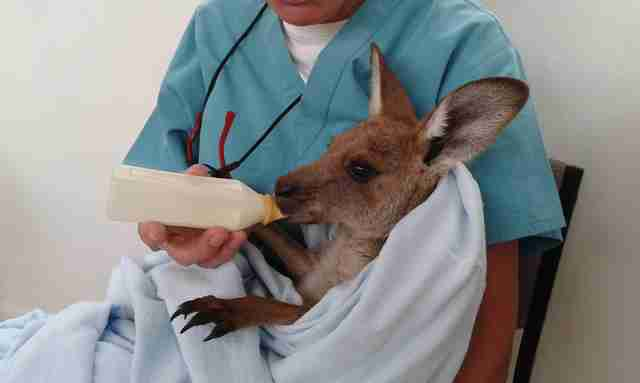 Veterinarian bottle feeding kangaroo