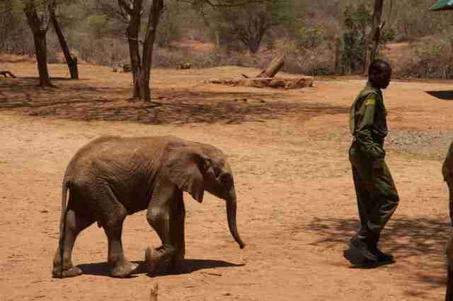 Orphaned baby elephant in Kenya