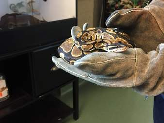 Python found on city bus in Palo Alto, California