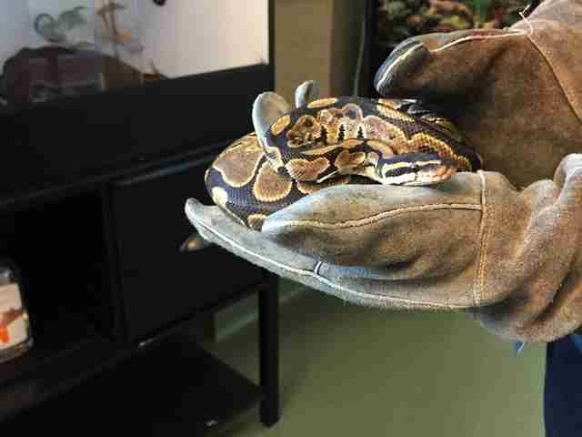 Python found on city bus in Palo Alto, California