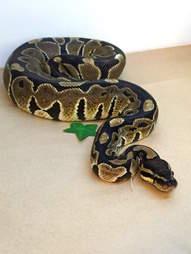 Python found on Palo Alto bus