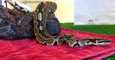 Snake found on Palo Alto bus