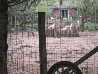 Wolves in enclosure in roadside zoo