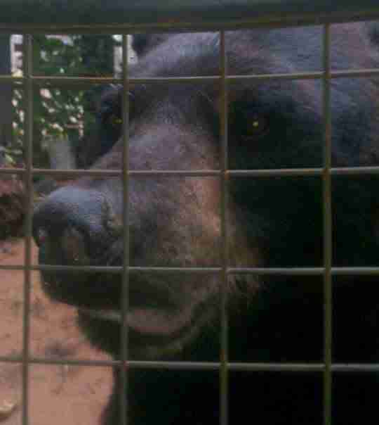 Zoo bear behind bars of enclosure