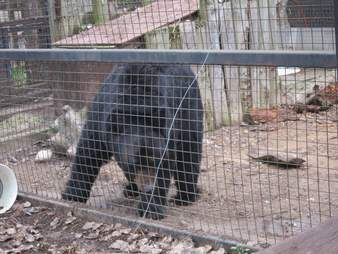 Sad zoo bear inside enclosure
