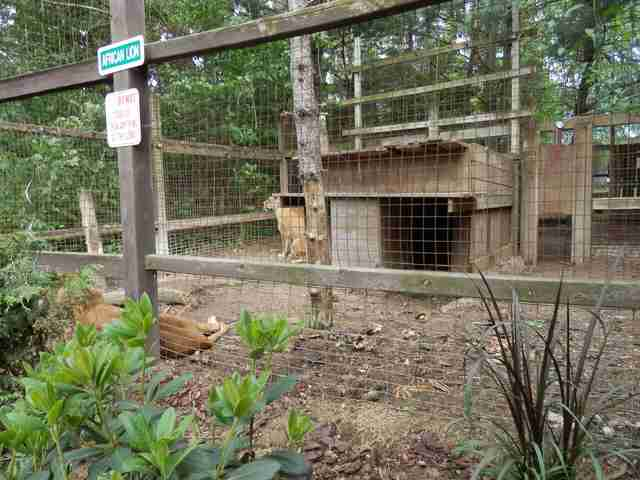 Lions in enclosure at roadside zoo
