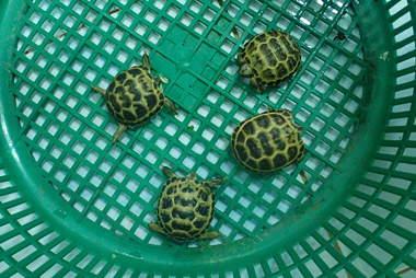 Rescued tortoises in crate