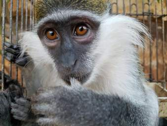 Rescued monkey in Syria