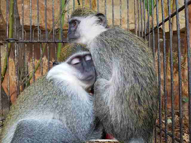 Rescued monkeys hugging