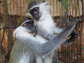 Rescued monkeys hugging