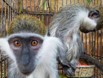 Monkey rescued from birdcage